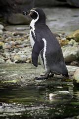 Humboldt Penguin #2 (Rolf Sch.) Tags: zoo ouwehand dierenpark wildlife autumn spring animals animal zoos nature rhenen humboldt penguin bird ice water