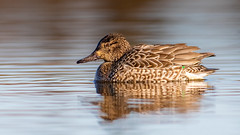 Northern Pintail, Hen (Gary R Rogers) Tags: lakewater pond hen northernpintail bird furnhill