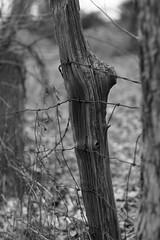 Passed It's Prime     -HFF (timvandenhoek1) Tags: timvandenhoek midwest missouri sonyilce6000 fotasymda7iiadapter minoltamdrokkorx50mmf14 fence backyard happyfencefriday blackandwhite cedarpost barbedwire wovenwirefence rust rusty dilapidated