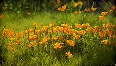Like Wildflowers; you must allow yourself to grow in all the places people thought you never would.  ~~E.V. (Irene2727) Tags: mexicangoldpoppy poppy flower flora nature landscape scape pano panorama field green picachopeak arizona