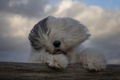 stormy Friday, bad hair day.. (dewollewei) Tags: bad hair day badhairday wind fur dog oldenglishsheepdog oldenglishsheepdogs old english sheepdog sheepdogs dewollewei scarlett oes storm beaufort weather bobtail