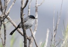 California Gnatcatcher (Christopher Lindsey) Tags: californiagnatcatcher redlands birds birding california male adult
