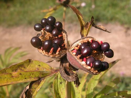 Paeonia officinalis L.