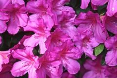 0B6A1611 (Bill Jacomet) Tags: azalea azaleas flower flowers houston tx texas 2019