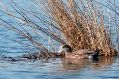 American Wigeon (mattbpics) Tags: duck bird waterfowl americanwigeon canon 70d tamron 150600 150600mm nwr