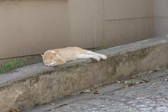 Marmalade Tabby Cat (Flexible Negativity) Tags: 猫 cat 貓 meow ねこ caturday nuko marmaladetabby pentax orangetabby k70 gingercat redtabby