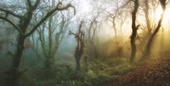Lampai (Noel F.) Tags: sony a7r a7rii voigtlander 15 iii vm lampai veitureira bascuas agrela teo galiza galicia fraga bosco bosque carballeira neboa fog mist