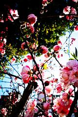 IMG_20190324_154039_p100070 (Youichi UeDA) Tags: 川崎 桜 梅 春