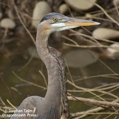 DSC_0778_Portrait of  heron (sdttds) Tags: greatblueheron ardeaherodia bird heron wadingbird davis ucdavis arboretum eyes portrait 100xthe2019edition 100x2019 image20100
