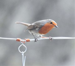 Robin on a Wire - Thornley Woods (Gilli8888) Tags: nikon p900 coolpix thornleywood thornleyhide tyneandwear nature birds robin wire
