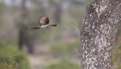 African Grey Hornbill -8641 (Theo Locher) Tags: africangreyhornbill birds grysneushoringvoël oiseaux tockusnasutus vogels vögel zuidafrika southafrica krugernationalpark kruger copyrighttheolocher