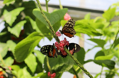 Vacances_0856 (Joanbrebo) Tags: mainau konstanz badenwürttemberg de deutschland flors flores flowers fiori fleur blumen blossom butterfly mariposa papallona papillon canoneos80d eosd autofocus