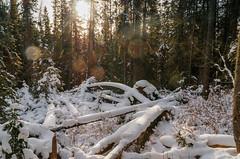 Winter Sun Through Forest (Bracus Triticum) Tags: winter sun through forest アルバータ州 alberta canada カナダ 12月 december 2018 平成30年 じゅうにがつ 十二月 jūnigatsu 師走 shiwasu priestsrun