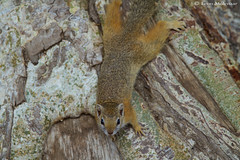 Tree Squirrel (leendert3) Tags: leonmolenaar wildlife krugernationalpark southafrica mammals animals nature treesquirrel naturethroughthelens coth5 ngc