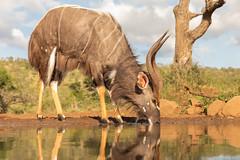 Nyala antelope (Wim Hoek) Tags: mammals nyala umgodiovernighthide zimangagamereserve afrika africa antilope nyalaantilope tragelaphusangasii zoogdieren uphongolonu kwazulunatal southafrica za