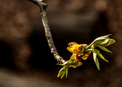 Spring 2019 Blooms (1) (tommaync) Tags: spring 2019 march blooms buds nature outdoor trees nikon d7500 chathamcounty chatham nc northcarolina