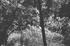 Some plants (Matthew Paul Argall) Tags: spartus35fmodel400 35mmfilm kentmerepan100 100isofilm blackandwhite blackandwhitefilm plant plants