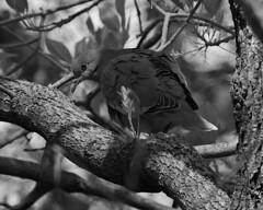 White-winged Dove (Dodge Rock) Tags: 293 dove
