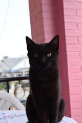 angel with whiskers (sandhya.sahi) Tags: cats pet animal domestic cute cat blackcat