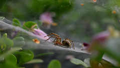 ️spider's home (athanecon) Tags: spider insect macro web plants flowers nikon sigma105