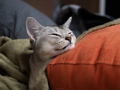 20190312_02_LR (enno7898) Tags: panasonic lumix lumixg9 dcg9 olympus mzuiko 25mm f12 abyssinian pet cat