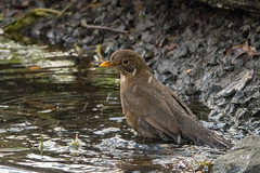 Female Blackbird (Dibbly Dobbler) Tags: sonyrx10iii edinburghbotanicgardens blackbird