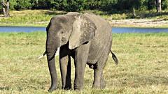 Botswana Elephant chilling in Chobe National Park (h0n3yb33z) Tags: botswana animals wildlife chobenationalpark elephant africa
