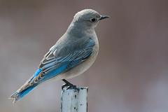 Perched (RkyMtnGrl) Tags: wildlife nature bird female mountainbluebird estespark colorado 2019