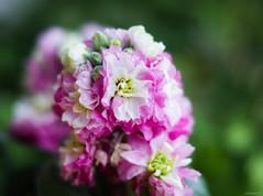 pink and white hoary stock (Christine_S.) Tags: canon mirrorless eos ef50mm japan nature flowers flower matthiolaincana bokeh closeup m5 fragrantflowers macro ngc npc