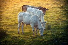 3 cows in a row (rob kraay) Tags: cow meadow eartag grass robkraay backlight grazing
