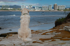 Harvey @ North Shore (alan88) Tags: anyvision canidae fun labels sitting adorable animal back beach beautiful boo breed canine charming contented cool cream curious cute delightful dog ears eyes funny gander glance golden goldenretriever happy head hide hot joyful look ocean outdoor patient peek peeking peep pet pretty puppy retriever rock sea sit snoop summer sun watch watching water wet white wildlife young