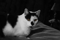 Meet Jerry (mimsjodi) Tags: jerry cat saturdayselfchallenge bw pet challenge groupchallenge selectivecolor