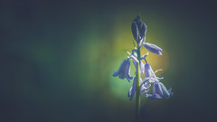 Bluebells (Dhina A) Tags: sony a7rii ilce7rm2 a7r2 a7r malik triolam 100mm f29 france anastigmat 29 maliktriolamfranceanastigmat100mmf29 slide projection projector lens french manualfocus bluebells spring flower bokeh