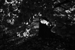 20181124 Sobue 3 (BONGURI) Tags: 稲沢市 愛知県 日本 jp bw monochrome blackandwhite 白黒 モノクロ モノクローム shadow light sunlight 影 明かり 太陽光 spotlight スポット光 スポットライト 木漏れ日 gingko イチョウ 銀杏 いちょう leaf leaves 葉 葉っぱ dark 暗い tree 木々 樹木 sobue 祖父江 inazawa 稲沢 aichi 愛知 nikon df afsnikkor2485mmf3545gedvr