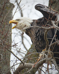 Adult Bald Eagle (jacksonfrontierphotography) Tags: adult bald eagle calling
