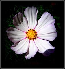 Natural Wonder (dimaruss34) Tags: newyork brooklyn dmitriyfomenko image flower cosmos