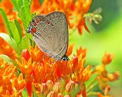 Coral hairstreak - in the Georgia mountains (Satyrium titus) (Vicki's Nature) Tags: coralhairstreak butterfly red spots orange butterflyweed blossoms flowers brasstownevalley georgia pond lifer vickisnature canon s5 0089