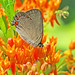 Coral hairstreak - in the Georgia mountains (Satyrium titus)
