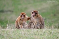 Monerias. (Lagier01) Tags: fauna mamiferos monos nature parquenaturaldecabarceno animales mamíferos animal campo