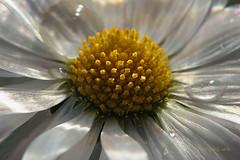 The Heart of Daisy ... (MargoLuc) Tags: flower white winter daisy natural light petals droplets macro backlight sunlight