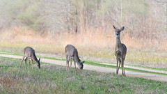 White-tailed Deer (stephaniepluscht) Tags: louisiana 2019 who whitetailed deer doe does whitetail white tail bayou cocodrie national wildlife refuge