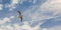 Flying along the line (Traveller_40) Tags: 52 52weeks bird blau cloud himmel high kondensstreifen light möven nature tutzing walkwithfriends wind air daylight fairweather flying freedom outdoors seagulls sky travel
