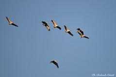 Gru _000 (Rolando CRINITI) Tags: gru uccelli uccello birds ornitologia avifauna racconigi natura