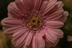 Pink Gerbera (Rudi Pauwels) Tags: 2019onephotoeachday flower pink gerbera closeup macro pinkflower