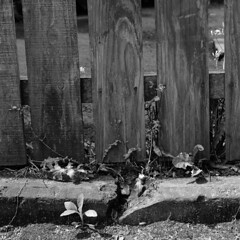 Simple things (lebre.jaime) Tags: japan tokyo setagayaku sangenjaya backstreet fence weeds hasselblad 503cx planar cf2880 analogic film film120 bw blackwhite noiretblanc pb pretobranco mf middleformat squareformat kodak technicalpan iso25 tp epson v600 affinity affinityphoto roadside