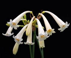 "2019-03-01 Cyrtanthus mackenii ""Cream White"" - BG Teplice (beranekp) Tags: czech teplice teplitz botanik botany botanic herbarium herbary herbář garden garten flora flower plant cyrtanthus"