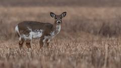 Piebald Deer (a rare Lifer) (Kevin E Fox) Tags: piebalddeer piebald deer whitetail nature nikond500 nikon sigma150600sport sigma