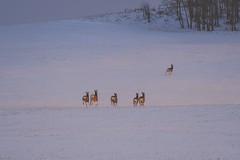 Blue hour (Tracey Rennie) Tags: bluehour muledeer deer running winter snow cochrane hss