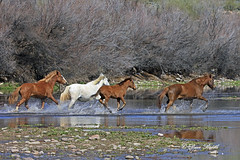 _V5A0349 (littlebiddle) Tags: wildlife horses nature equine arizona saltriver tontonationalforest