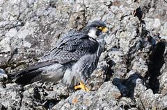 A peregrine falcon at a cliff (takashi muramatsu) Tags: peregrinefalcon falcon peregrinus gifu japan nikon d850 ハヤブサ falcoperegrinus